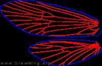 Micrasema rusticum, female, wings