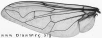 Myathropa florea, wing