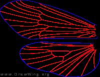 Neophylax concinnus, male, wings
