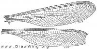 Neuroptynx appendiculatus, wings
