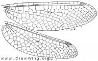 Ogcogaster tessellata, wings