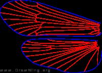 Oligophlebodes minutus, male, wings