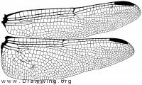 Orthemis ferruginea, wings