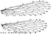 Panorpa, wings
