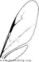 Pelecinidae, wings