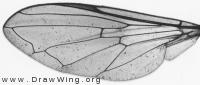 Pipiza noctiluca, wing