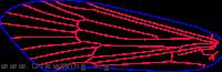 Platycentropus radiatus, fore wing