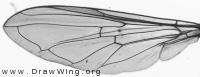 Platycheirus albimanus, wing