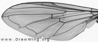 Platycheirus fulvimanus, wing