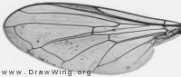 Platycheirus occultus, wing