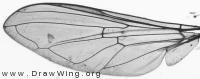 Platycheirus scutatus, wing