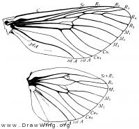 Prionoxystus robiniae, wings