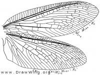 Protohermes davidi, wings