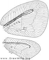 Psychopsidae, wings
