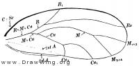 Psylla floccosa, fore wing