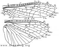 Pteronarcella badia, wings