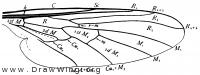 Rhamphomyia, wing