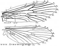 Rhyacophila fuscula, wings