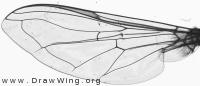 Scaeva pyrastri, wing