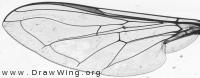 Scaeva selenitica, wing