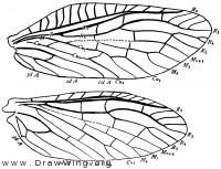 Sialis infumata, wings