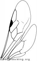 Sierolomorphidae, wings