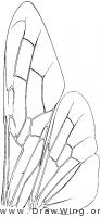 Siricidae, wings