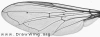 Sphaerophoria batava, wing