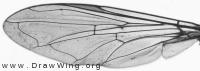 Sphaerophoria scripta, wing