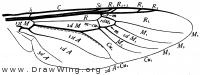 Stratiomyia, wing