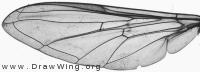 Syrphus ribesii, wing