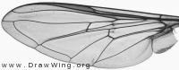 Syrphus torvus, wing
