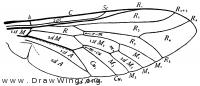 Tabanus, wing