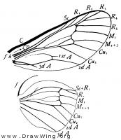 Thyridopteryx ephemeraeformis, wings