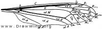 Tipula, wing