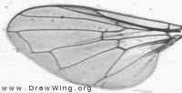 Triglyphus primus, wing