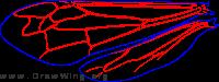 Eumeninae, wings