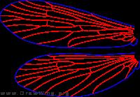 Wormaldia gabriella, wings