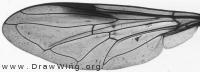 Xanthogramma pedissequum, wing