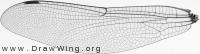 Aeshna juncea, forewing