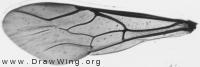 Chrysis, forewing