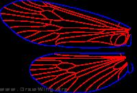 Glossosoma lividum, wings