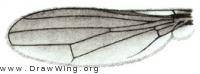 Eurychoromyia mallea, wing
