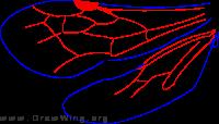 Rhopalomutillnae, wings