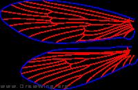Lepidostoma togatum, female, wings