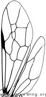 Trigonalyidae, wings