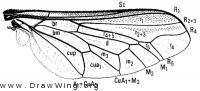 Ocnaea smithi, wing