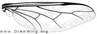 Acrocera convexa, wing