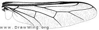 Acrocera subfasciata, wing