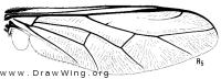 Acrocera bimaculata, wing